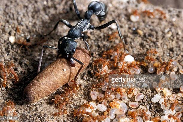 Platythyrea conradti workers in the nest taking care of their cocoons as Pyramica maynei approach probably to forage in their nest for remains of...