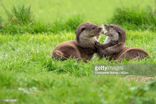 play - river otter stock pictures, royalty-free photos & images