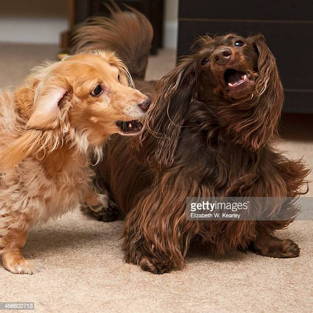 play - long haired dachshund stock photos and pictures