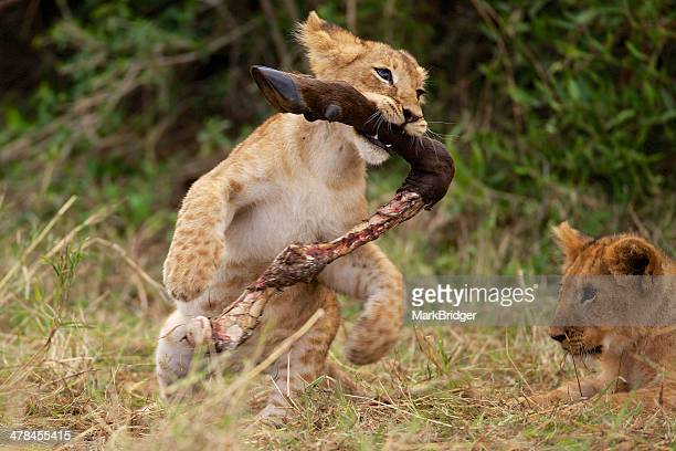 play - lion cub stock photos and pictures
