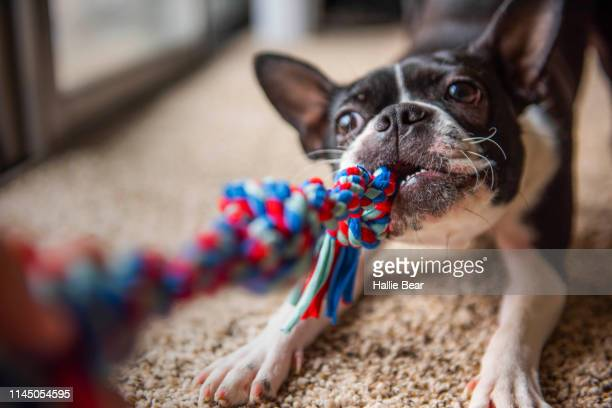 play time - boston terrier stock pictures, royalty-free photos & images