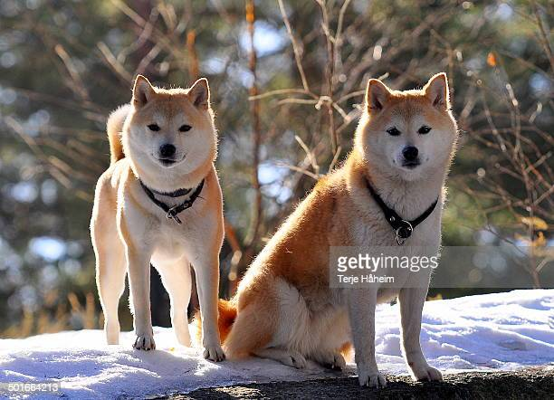 play time? - shiba inu winter stock pictures, royalty-free photos & images