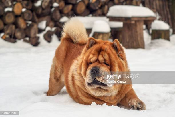 player - chow stock pictures, royalty-free photos & images