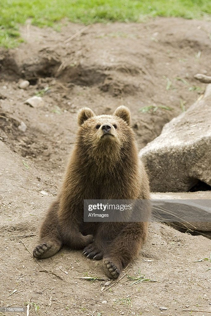 Playful bear cub (Ursus arctos) : Stock Photo