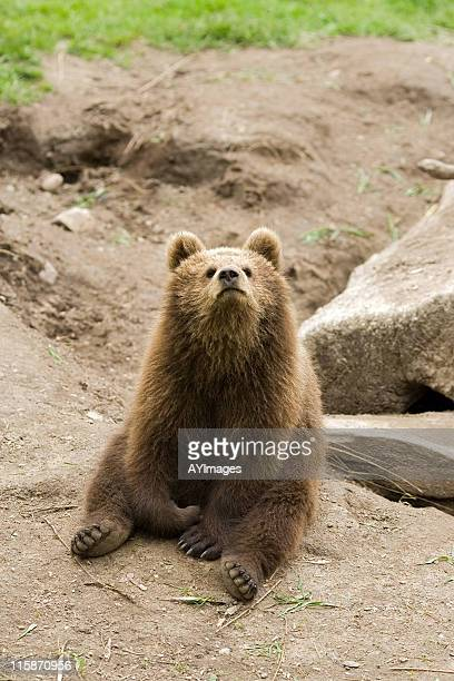Playful bear cub (Ursus arctos)