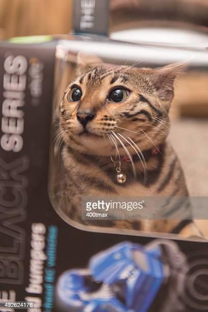 Playful Bengal Kitten
