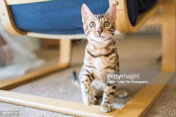 playful bengal kitten raising paw - bengal cat stock pictures, royalty-free photos & images
