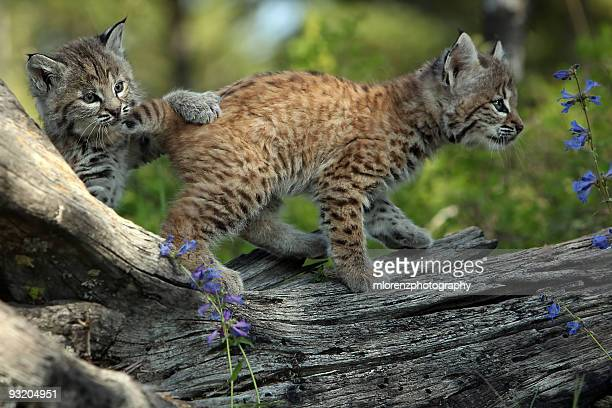 Playful Bobcat Kittens