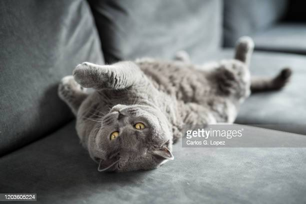 playful british short hair cat lying upside down with her legs up on a grey couch while looking at the camera - cats stock pictures, royalty-free photos & images