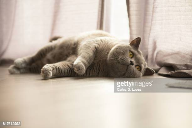 Playful British Short hair cat rolling on the floor next to curtains