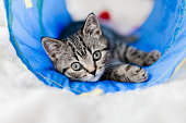 playful british shorthair kitten laying down
