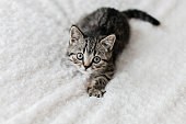 playful british shorthair kitten