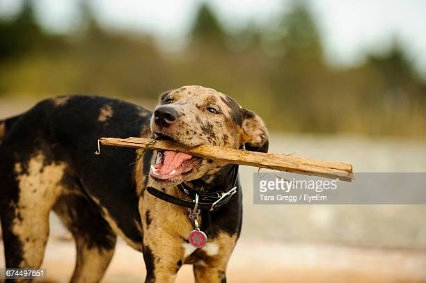 playful catahoula leopard dog carrying stick in mouth - catahoula leopard dog stock photos and pictures