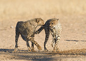 two playful cheetah acinonyx jubatus cubs
