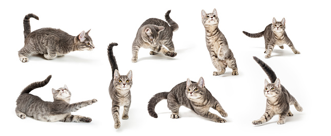 Playful Cute Gray Kitten in Different Positions 1023735554