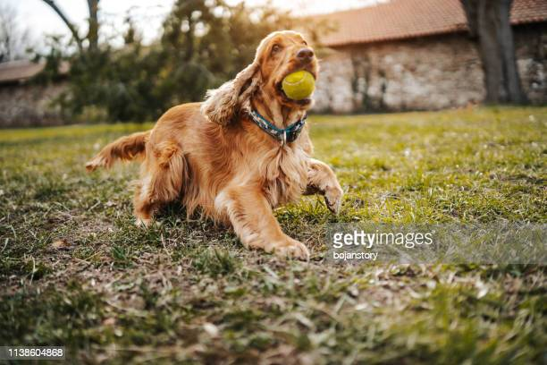 playful dog - cocker spaniel stock photos and pictures