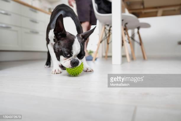 遊び心のある犬 - イヌのおもちゃ ストックフォトと画像