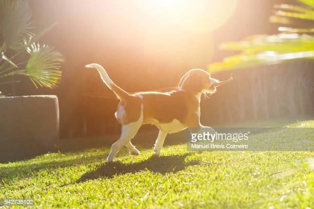 playful dog - cão adestrado - fotografias e filmes do acervo