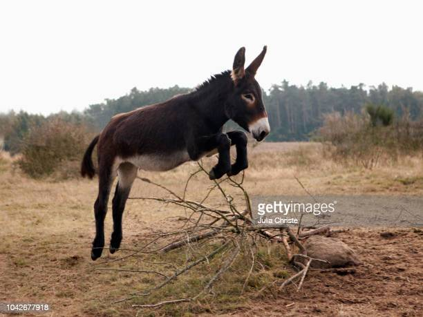 playful donkey jumping in field - donkey stock pictures, royalty-free photos & images