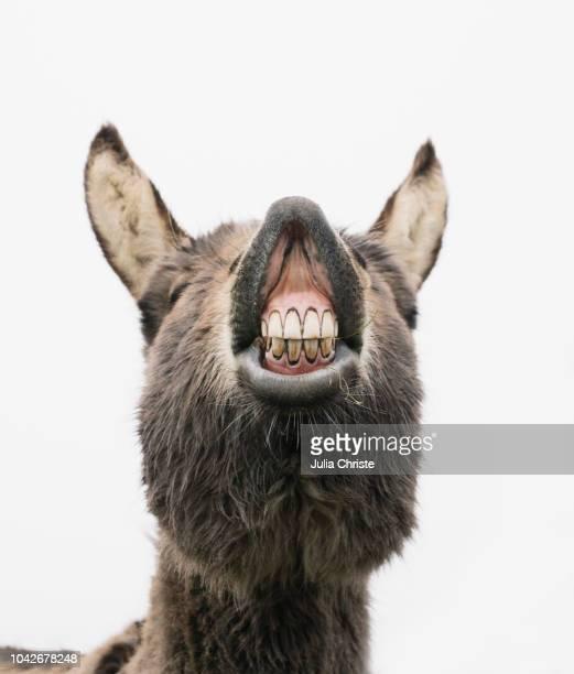 playful donkey showing teeth - esel stock-fotos und bilder