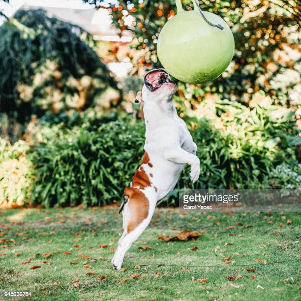 playful english bulldog - hairy balls stock photos and pictures