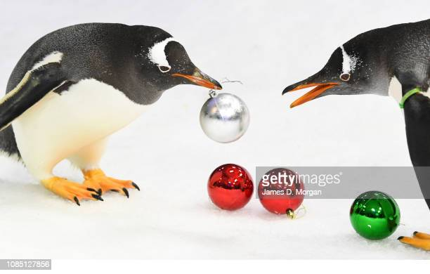 Playful Gentoo penguins get into the festive spirit of Christmas by interacting with Christmas baubles at Sea Life Sydney Aquarium on December 21...