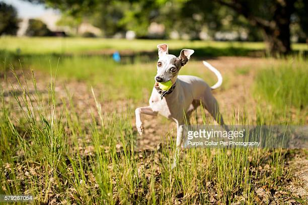 Playful Italian Greyhound Dog with Tennis Ball