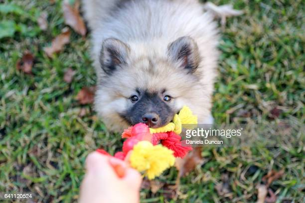 playful keeshond puppy - dogs tug of war stock pictures, royalty-free photos & images