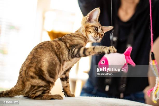 playful kitten catching a hanging fish pet toy - stock photo - cat's toy stock pictures, royalty-free photos & images