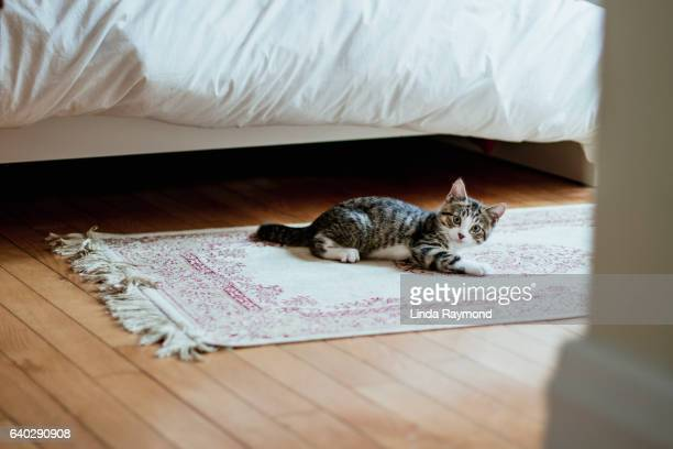 playful kitten lying on a carpet looking  at camera - linda wilton stock pictures, royalty-free photos & images