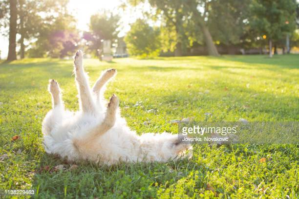 playful labradoodle dog rolling in grass - rolling stock pictures, royalty-free photos & images