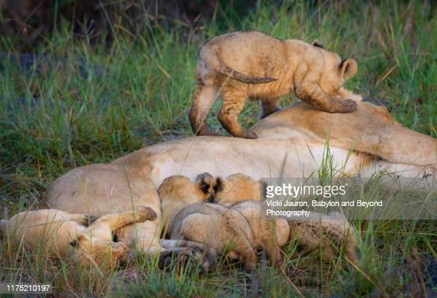 playful lion cub biting mom while siblings nurse at masai mara, kenya - naughty nurse images stock photos and pictures