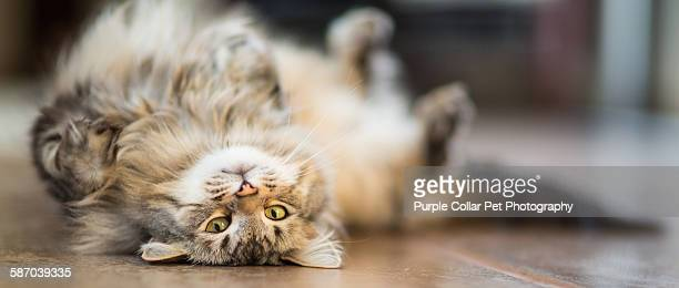 Playful maine coon cat indoors