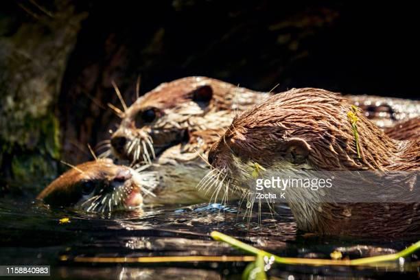 família brincalhão da lontra no rio - carnivora - fotografias e filmes do acervo