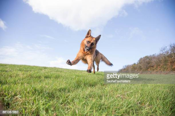 playful pets - german shepherd dog playing - german shepherd stock pictures, royalty-free photos & images