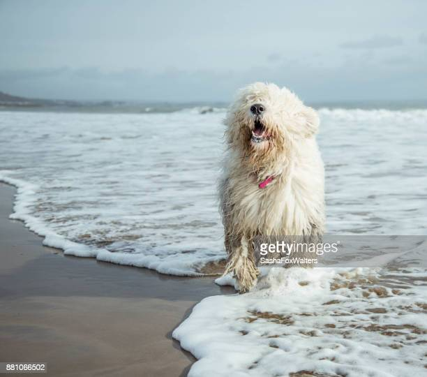 playful pets - old english sheepdog - old english sheepdog stock pictures, royalty-free photos & images