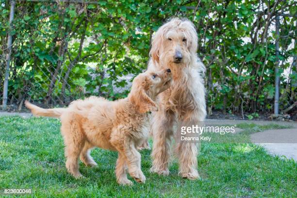 playful puppy and elderly goldendoodles in a backyard - goldendoodle stock photos and pictures