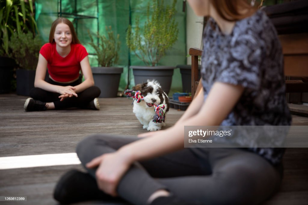 Playful puppy fetching a chew toy between two teenage girls : ストックフォト