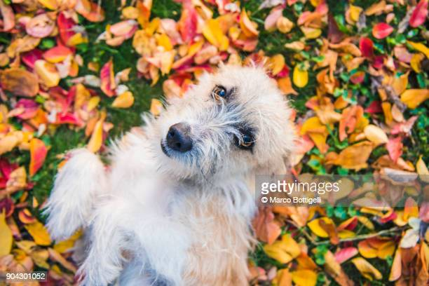 Playful puppy in autumn leaves