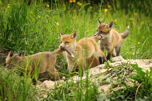 playful red fox cubs ( Vulpes vulpes ) 1085601066