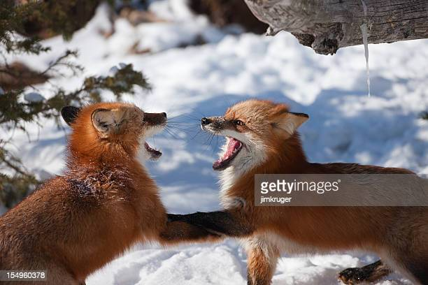 Playful red fox pups having by the den.