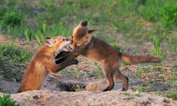Playful Red Fox pups