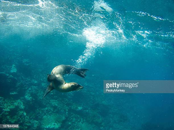Playful Sealion Leaves a Bubble Trail Underwater in Galapagos Sea