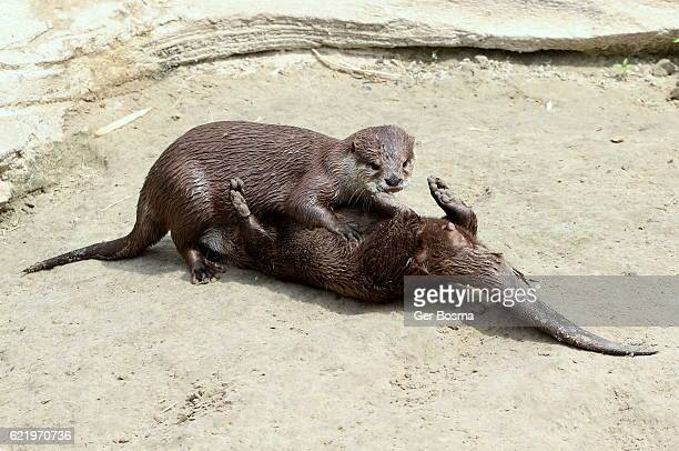 Playful Small Clawed Otters