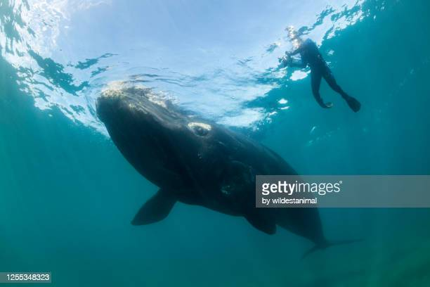 playful southern right whale calf intertacting with a diver, nuevo gulf, valdes peninsula, argentina, a unesco world heritage site.. - duroni foto e immagini stock