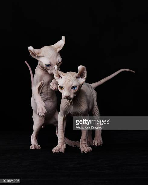 playful sphinx kittens - sphynx hairless cat stock photos and pictures