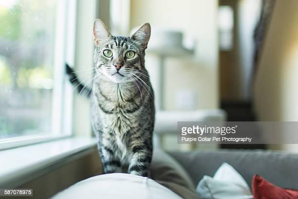 playful tabby cat indoors - トラ猫 ストックフォトと画像