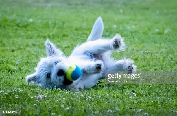 playful west highland puppy - marco secchi stock photos and pictures