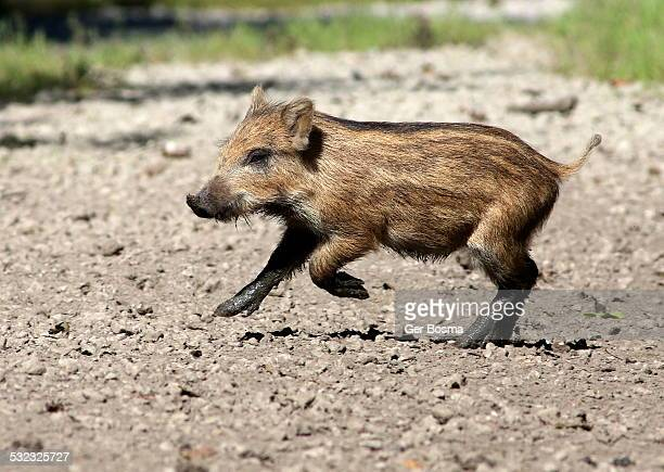 Playful Wild Boar Piglet