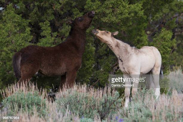 playful wild colts (equus ferus) in steens mountain, oregon, usa - steens mountain stock pictures, royalty-free photos & images